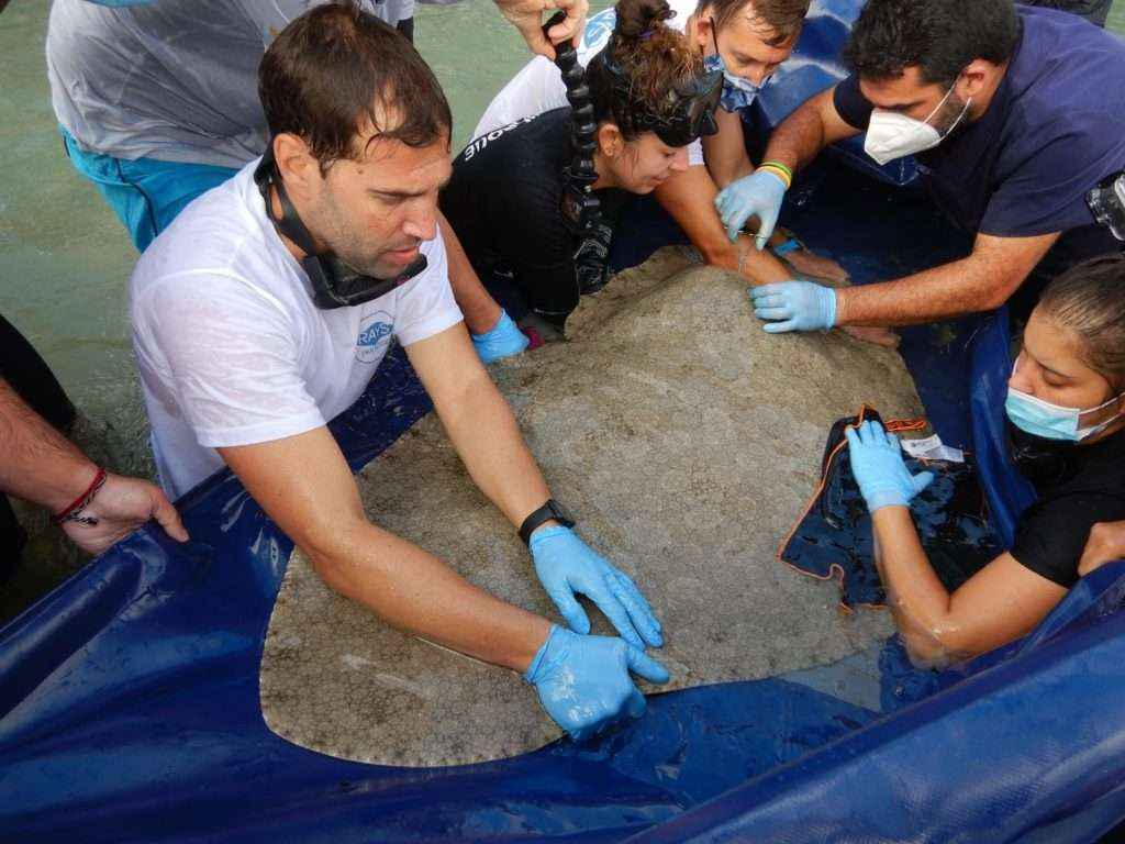 Investigadores realizan en Canarias el primer marcaje acústico de mantelinas del mundo